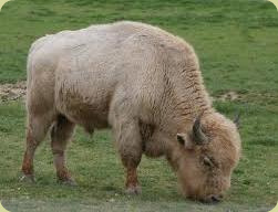 Sacred white buffalo - young bull